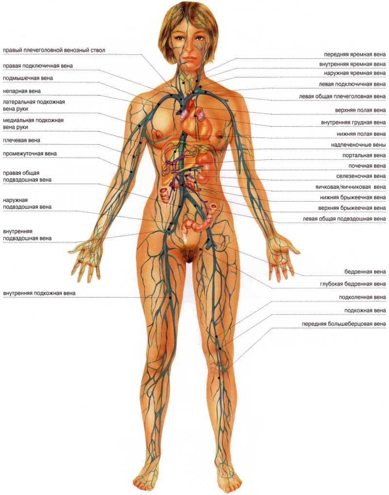 схема сосуды человека