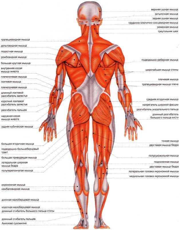 Human back anatomy