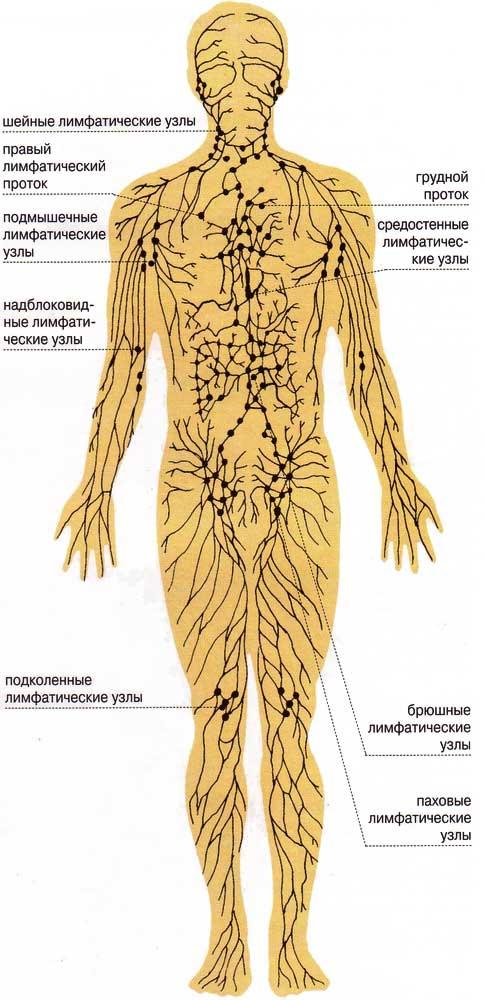 Анатомия. Схема лимфатической
